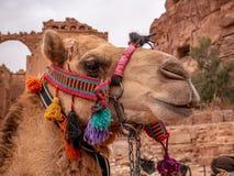 Porträt eines Kamels in der Wüste stockbild