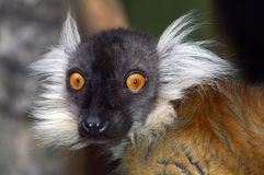 Porträt eines kleinen Affen Stockbild