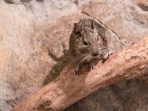 Porträt eines kleinen degu im Wald lizenzfreie stockfotos