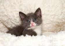 Porträt eines kleinen grauen und weißen Kätzchens auf Schaffell lizenzfreies stockbild