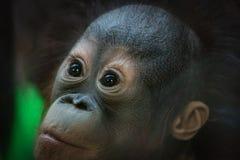 Porträt eines kleinen Orang-Utan Jungen, das mit einem überraschten Ausdruck schaut stockfoto