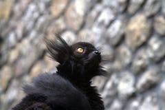Porträt eines kleinen schwarzen Affen Stockfoto