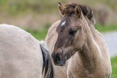 Porträt eines Konik Pferds Lizenzfreie Stockfotos