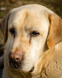 Porträt eines Labrador-Hundes Lizenzfreies Stockbild