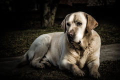 Porträt eines Labrador-Hundes Lizenzfreies Stockfoto