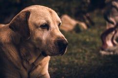 Porträt eines Labrador-Hundes Stockfotos