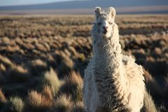 Porträt eines Lamas, das die Linse im Altiplano in Bolivien untersucht stockbild