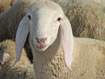 Porträt eines Lamms inmitten der großen Herde Lizenzfreie Stockfotografie