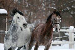 Porträt eines laufenden arabischen Pferds im Winter stockbilder