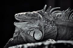 Porträt eines Leguans auf einem Felsen Stockfotos