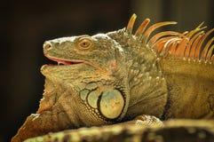 Porträt eines Leguans auf einem Felsen Stockfoto