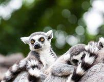 Porträt eines lemurien maki catta Stockfoto