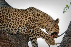 Porträt eines Leopard Panthera pardus, Nationalpark Kruger, Südafrika Stockbilder