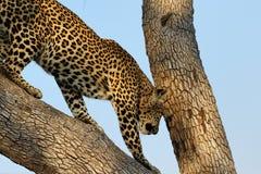 Porträt eines Leopard Panthera pardus, Nationalpark Kruger, Südafrika Stockfoto