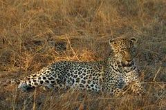 Porträt eines Leopard Panthera pardus, Nationalpark Kruger, Südafrika Stockfotografie