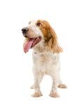 Porträt eines lustigen Hunderasse Russe-Spaniels Lizenzfreie Stockbilder