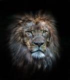 Porträt eines männlichen Löwes lizenzfreies stockfoto