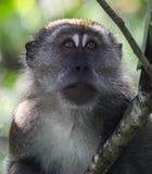 Porträt eines Macaque Lizenzfreies Stockbild