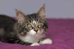 Porträt eines Maine-Waschbären färbte graue getigerte Katze mit Büro lizenzfreie stockbilder
