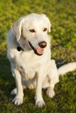 Mischlabrador-Hundeporträt am Park Stockfotografie