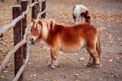Porträt eines netten die Shetlandinseln-Ponys lizenzfreies stockfoto