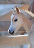 Porträt eines netten Fohlens Stockfotos