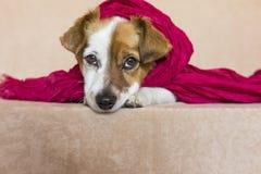 Porträt eines netten jungen kleinen Hundes, der die Kamera mit a betrachtet Stockbilder