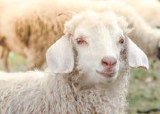 Porträt eines netten weißen Ziegenbauernhofes im Dorf stockbilder