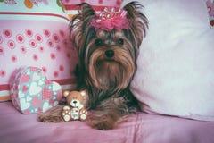 Porträt eines netten Yorkshire-Terriers mit Krone lizenzfreies stockbild