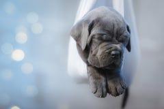 Porträt eines neugeborenen grauen Stock corso Welpen, der in einer Hängematte schläft Stockfotografie