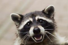 Porträt eines neugierigen Waschbären lizenzfreie stockfotos