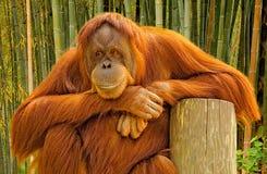 Porträt eines Orang-Utans Lizenzfreies Stockbild