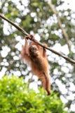 Porträt eines Orang-Utans in einem Regenwald Lizenzfreies Stockbild