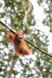 Porträt eines Orang-Utans in einem Regenwald Lizenzfreie Stockbilder