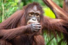 Porträt eines Orang-Utans in einem Regenwald Stockfotografie
