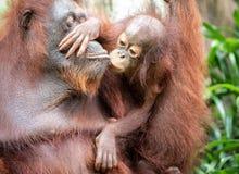 Porträt eines Orang-Utans in einem Regenwald Lizenzfreie Stockfotografie