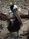 Porträt eines Pelikans lizenzfreies stockfoto