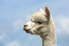 Porträt eines peruanischen Alpakas im niederländischen Tierpark stockbild