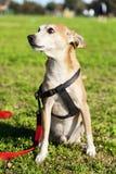 Pinscher-Hundeporträt am Park Lizenzfreie Stockbilder