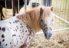 Porträt eines Ponys Lizenzfreies Stockfoto