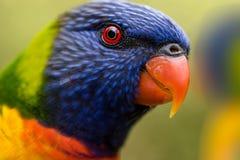 Porträt eines Regenbogen lorikeet mit Blickkontakt Stockbild
