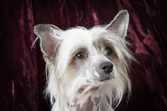 Porträt eines reinrassigen unbehaarten Chinese Crested-Hundes Stockfotografie