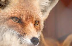 Porträt eines roten Fuchses Lizenzfreies Stockfoto
