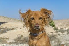 Porträt eines roten Hundes auf einem Wüsten-Hintergrund lizenzfreie stockfotos