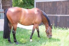 Porträt eines roten Pferds auf einem grünen Hintergrund Der Kopf eines Tieres im Profil Eine junge Stute eines Arabers stockfotografie