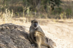Porträt eines Samt-Affen Lizenzfreies Stockfoto