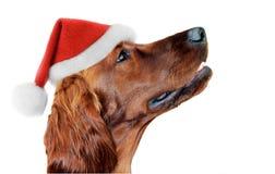 Porträt eines Sankt-Hutes auf Hund Weißer Hintergrund, Weihnachten-deco Lizenzfreie Stockfotografie