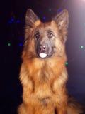 Porträt eines Schäferhunds auf schwarzem Hintergrund mit Fahrrädern Stockbild