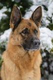 Porträt eines Schäferhunds im Winter Lizenzfreies Stockfoto
