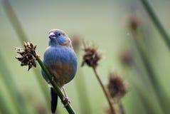 Porträt eines schönen, afrikanischen, kleinen Vogels der ungewöhnlichen Farbe sitzend auf einer Niederlassung stockbild